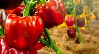 الفليفلة الحلوة   -  10 فواكه صيفية صحية لنظامك الغذائي