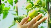 الطماطم الخضراء  - 10 فواكه صيفية صحية لنظامك الغذائي