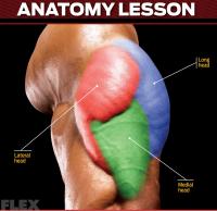 triceps-anatomy-lesson