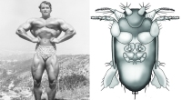 Arnold Schwarzenegger side-by-side with insect illustration