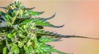 Flowering cannabis weed