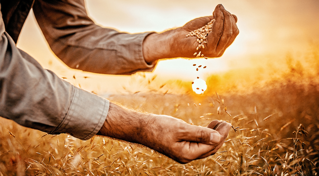 Wheat-Germ-Field-Farmer-Hands