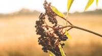 Clusters-fruit-black-elderberry